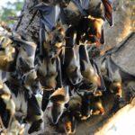 Kasanka Bats