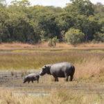 Kasanka Hippos