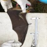 Kasanka Bat Research