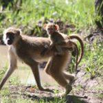 Kasanka Kinda Baboons