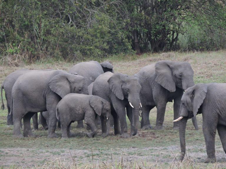 @Kasanka Elephants Frank Willems (22)