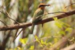 Kasanka Bee-eater